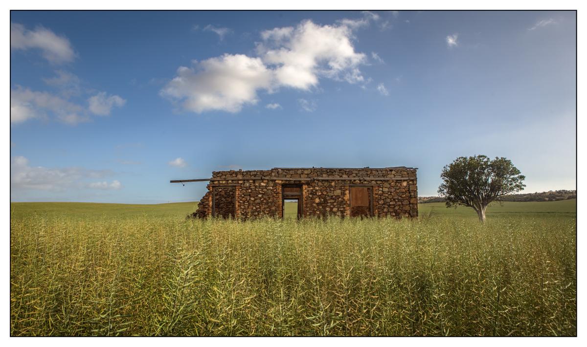 Canola crop and old ruins in Northampton WA