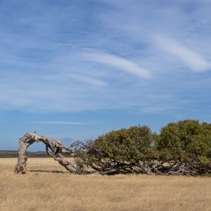 Leaning Tree bent by salt and wind. Greenough, Western Australia
